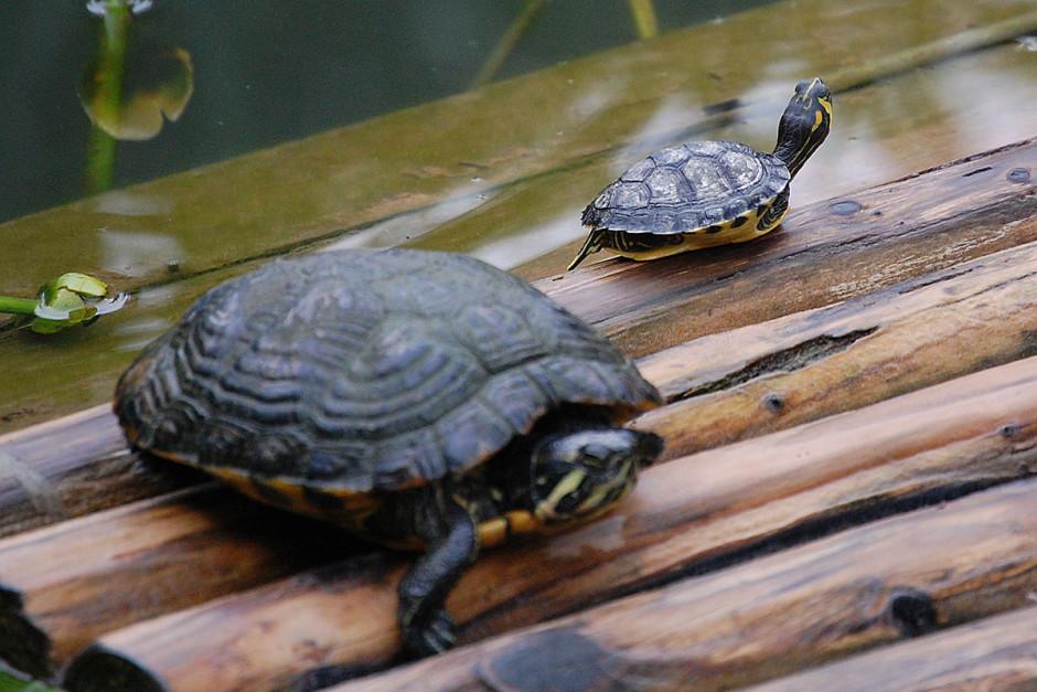 Unbewegliche Schildkröten