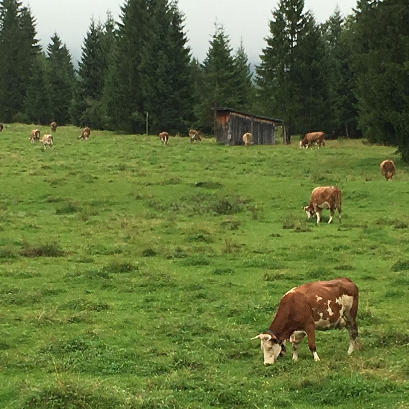 Wiese mit Kühen