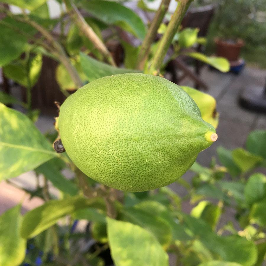 Zitronenfrucht am Baum