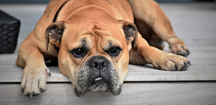 Gelangweiter Hund